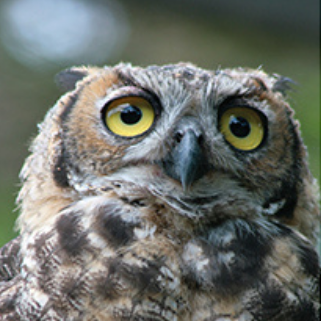 thumb_FEAT_WildCare_Owl_0415